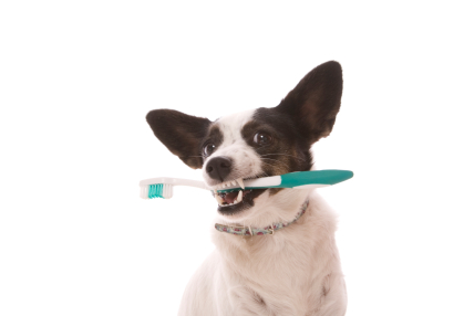 prevent dental disease in pets, soins oral dental pour animaux montreal